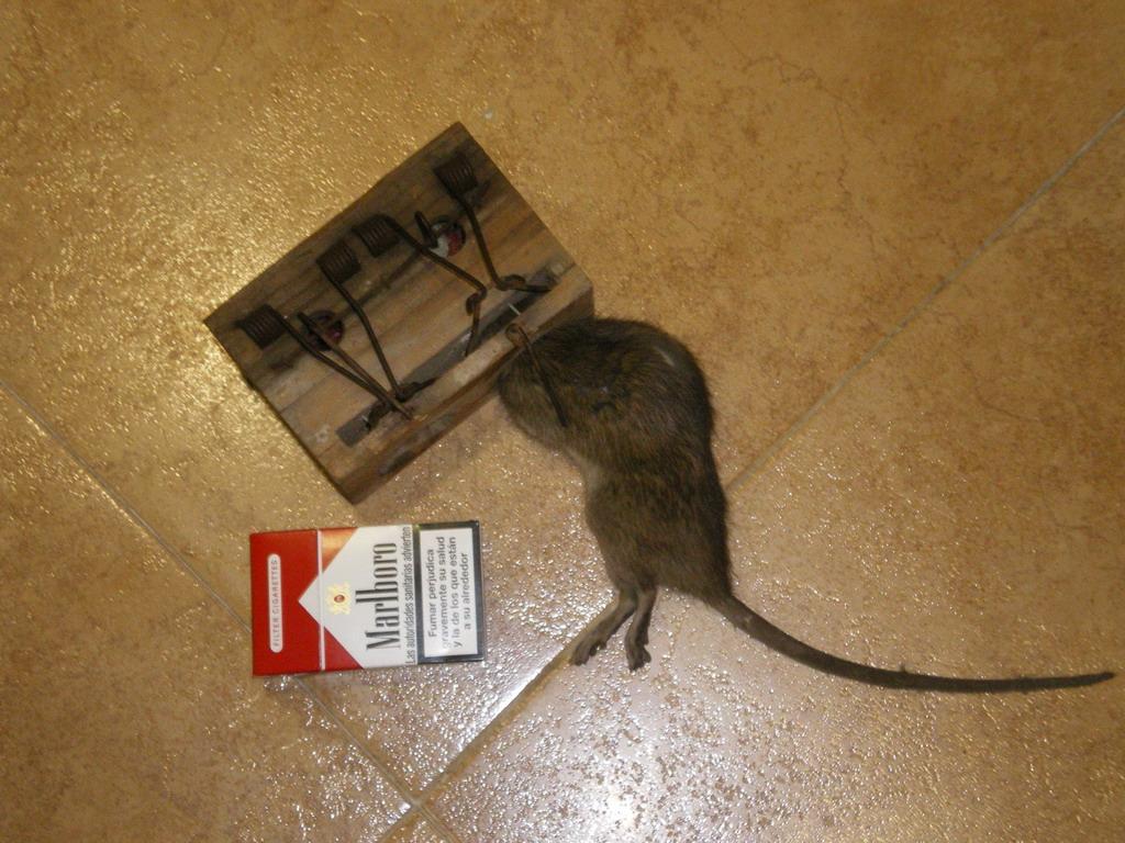 Como Atrapar Un Raton En Casa. Fabulous Cmo Matar Ratas Grandes En ...